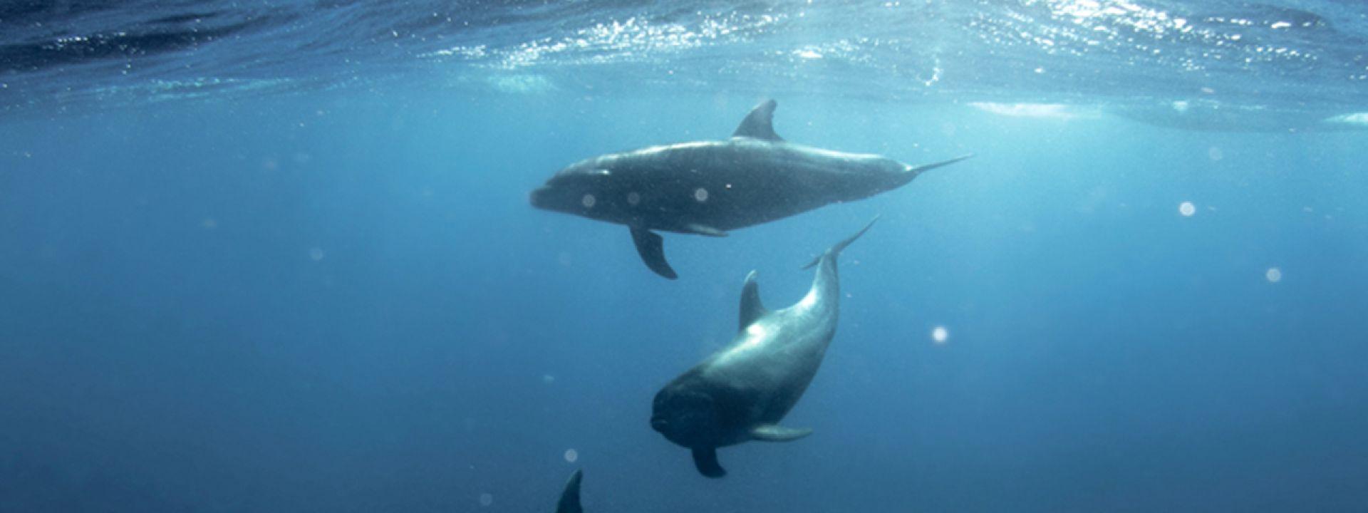 Φωτογραφία που απεικονίζει δελφίνια στον βυθό