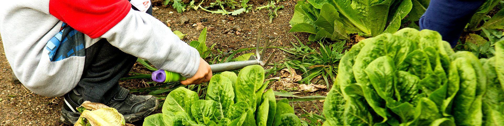 Λαχανόκηπος  - Εικόνα
